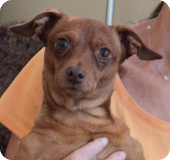 Miniature Pinscher/Chihuahua Mix Dog for adoption in Studio City, California - Fiesty