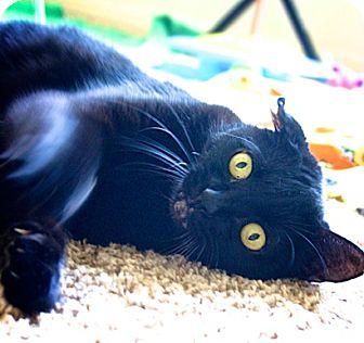 Domestic Shorthair Cat for adoption in Austin, Texas - Midnight