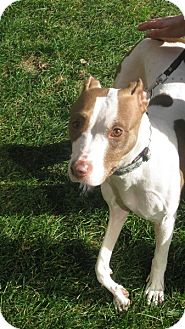 American Staffordshire Terrier Mix Dog for adoption in Long Beach, New York - Siara