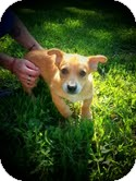 Corgi/Rat Terrier Mix Puppy for adoption in Allentown, Pennsylvania - Bonnie Sue