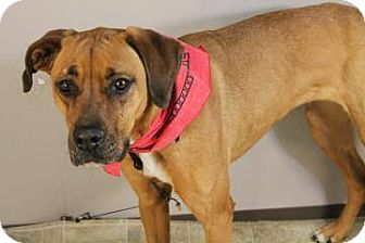 Boxer/Great Dane Mix Dog for adoption in Lebanon, Connecticut - Holly B