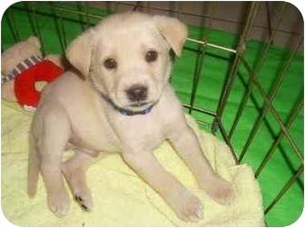 Labrador Retriever Mix Puppy for adoption in Minneapolis, Minnesota - Samuel