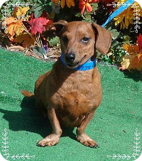 Dachshund Dog for adoption in Marietta, Georgia - LANCELOT (R)