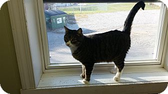 American Shorthair Cat for adoption in Indianola, Iowa - Patrick