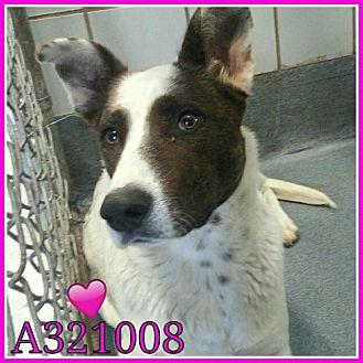 Collie Mix Dog for adoption in SAN ANTONIO, Texas - PIPER