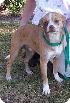 Chihuahua/Terrier (Unknown Type, Medium) Mix Dog for adoption in Port St. Joe, Florida - Xander