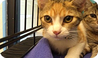 Calico Cat for adoption in Pasadena, California - Lilly
