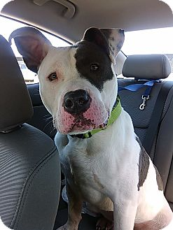 Pit Bull Terrier Mix Dog for adoption in Manassas, Virginia - King *Foster Needed*