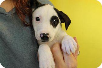 Australian Cattle Dog Puppy for adoption in Phoenix, Arizona - Jayden