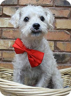 Poodle (Miniature) Mix Dog for adoption in Benbrook, Texas - Prince