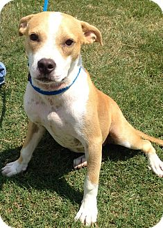 Boxer/Spaniel (Unknown Type) Mix Dog for adoption in Fishkill, New York - BUTTERSCOTCH