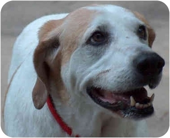 Great Pyrenees/Hound (Unknown Type) Mix Dog for adoption in Overland Park, Kansas - Maggie