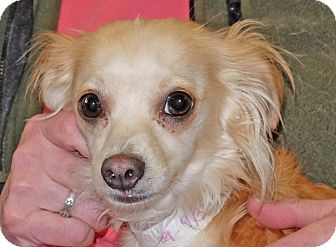 Chihuahua Mix Dog for adoption in Spokane, Washington - Abigail
