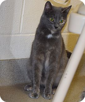 Domestic Shorthair Cat for adoption in Bucyrus, Ohio - Skinny Minnie