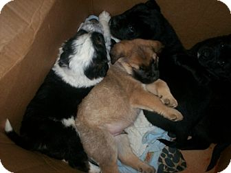 Shepherd (Unknown Type)/Mastiff Mix Puppy for adoption in Newburgh, Indiana - Barney