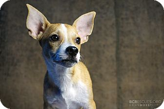 Chihuahua Mix Puppy for adoption in Cliffside Park, New Jersey - YUM-YUM