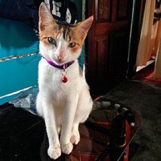 Calico Cat for adoption in Arlington, Virginia - Tia