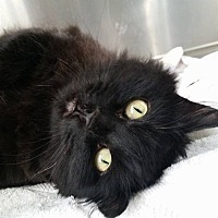 Domestic Longhair Cat for adoption in Edwards AFB, California - Betty