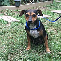Dachshund/Chihuahua Mix Dog for adoption in Kittery, Maine - Roma