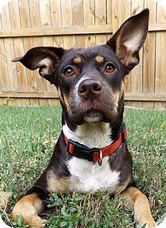 Doberman Pinscher/Labrador Retriever Mix Dog for adoption in Memphis, Tennessee - Gia