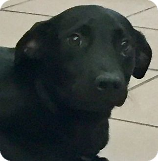 Labrador Retriever Mix Dog for adoption in Las Vegas, Nevada - Verona