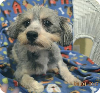 Poodle (Miniature)/Schnauzer (Miniature) Mix Dog for adoption in Brattleboro, Vermont - Big Man Adopted