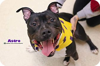 American Staffordshire Terrier Mix Dog for adoption in Grand Rapids, Michigan - Astro