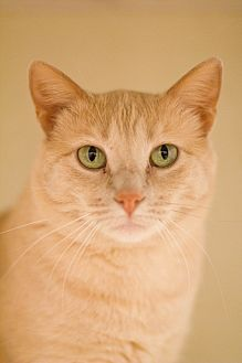 Domestic Shorthair Cat for adoption in Grayslake, Illinois - Roma