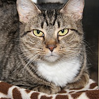 Domestic Shorthair Cat for adoption in Marietta, Ohio - Delilah (Spayed)-New Photos