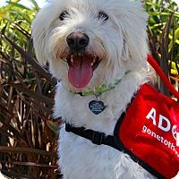Adopt A Pet :: Bella Swan - Redondo Beach, CA