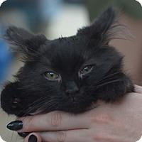 Adopt A Pet :: Gothic - Brooklyn, NY