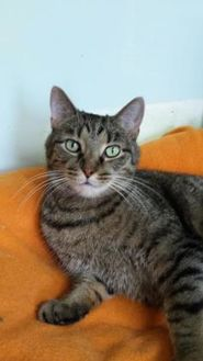 Domestic Mediumhair/Domestic Shorthair Mix Cat for adoption in Shelbyville, Kentucky - Nemo