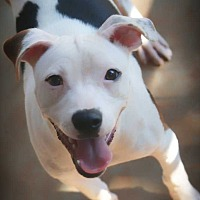 American Bulldog Puppy for adoption in Fayetteville, Georgia - Wendy