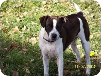 Boston Terrier/Jack Russell Terrier Mix Dog for adoption in Lakewood, Colorado - Sunder