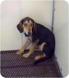 Beagle Mix Dog for adoption in Cincinnati, Ohio - Braydon