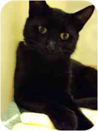 Domestic Shorthair Kitten for adoption in North Charleston, South Carolina - Carolina