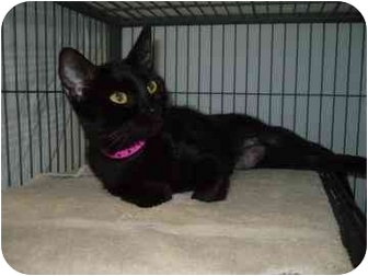 Domestic Shorthair Cat for adoption in Barrie, Ontario - Kimi