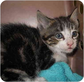 Domestic Shorthair Kitten for adoption in San Clemente, California - REMY
