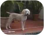 Poodle (Standard) Dog for adoption in Melbourne, Florida - GIBBS