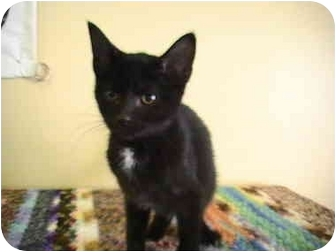 Domestic Shorthair Kitten for adoption in Columbiaville, Michigan - Dustin