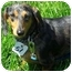 Photo 1 - Dachshund Dog for adoption in Joliet, Illinois - Rolla