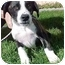 Photo 1 - Boxer Mix Puppy for adoption in North Judson, Indiana - Willie