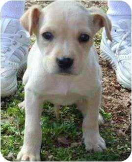 Boxer/Labrador Retriever Mix Puppy for adoption in Allentown, Pennsylvania - Jamee