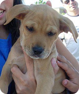 Retriever (Unknown Type) Mix Puppy for adoption in West Palm Beach, Florida - DONOVAN