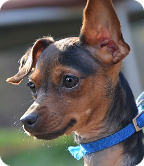 Miniature Pinscher Mix Dog for adoption in Plainfield, Connecticut - Minnie Pin