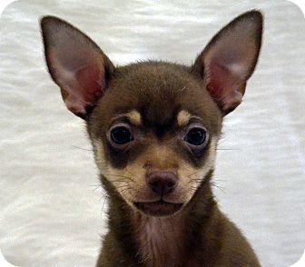 Chihuahua Mix Puppy for adoption in Bridgeton, Missouri - McCartney