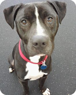 Labrador Retriever/American Staffordshire Terrier Mix Dog for adoption in Snohomish, Washington - Monty Playful & Friendly!