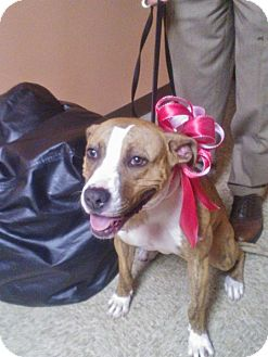 Boxer/American Staffordshire Terrier Mix Dog for adoption in Chicago, Illinois - Lucy