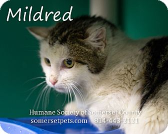Domestic Shorthair Cat for adoption in Somerset, Pennsylvania - Mildred