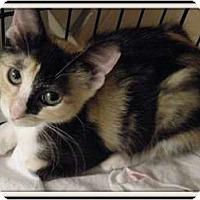 Adopt A Pet :: Willow-aka Cinnamon Bun - Hurst, TX